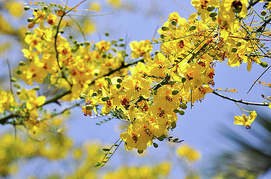 Yellow Blossoms by Gandz Photography