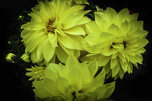 Yellow Blossoms by Judy Hall-Folde