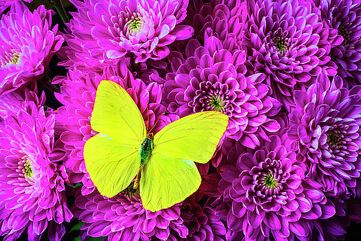 Yellow Butterfly On Pink pompon by Garry Gay