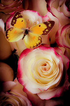 Yellow Butterfly On Pink White Roses by Garry Gay