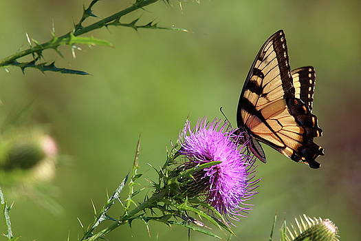Yellow Butterfly by Pete Tapang