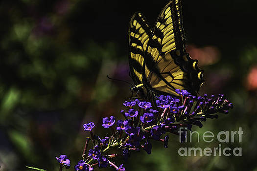 Yellow Butterfly Splurging on Nectar  by Crissy Anderson