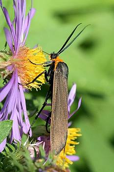Yellow-collared Scape Moth by Doris Potter