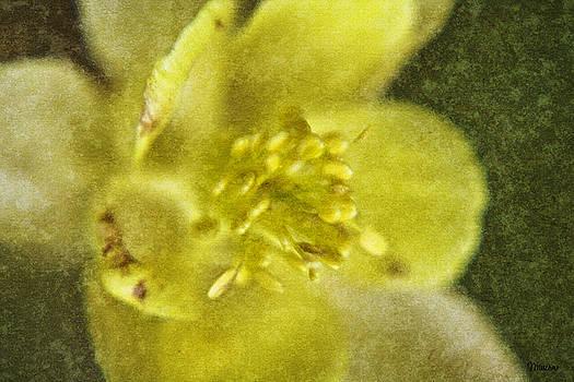 Teresa Mucha - Yellow Columbine