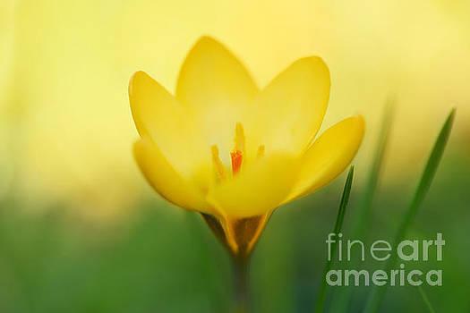 LHJB Photography - Yellow Crocus