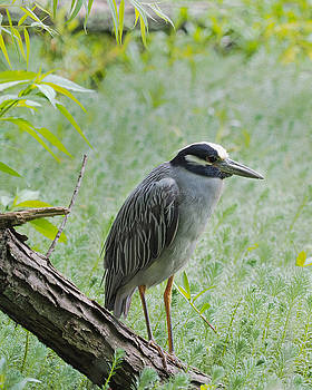 Yellow-Crowned Night Heron 1 by Paula Ponath