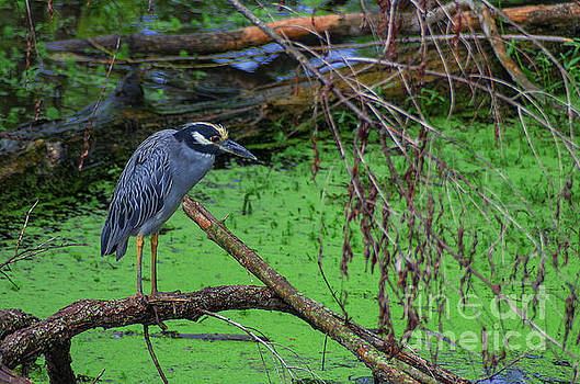 Yellow-crowned Night Heron by Photo Captures by Jeffery
