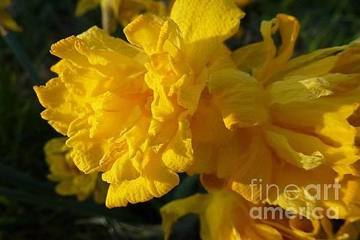 Yellow Daffodils by Jean Bernard Roussilhe