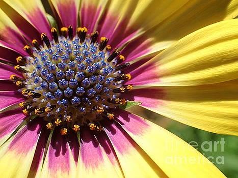 Yellow Daisy Fireworks by Carol McGunagle