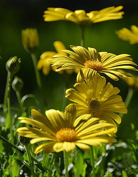 Yellow Daisy by Kerry Hauser