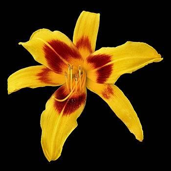 Yellow Daylily on Black by Scott  Bricker