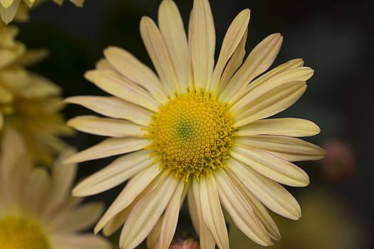 Yellow Fall Daisy by Mark Michel