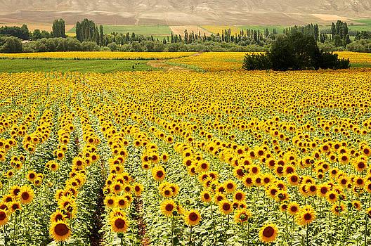 Yellow Fields by Kobby Dagan