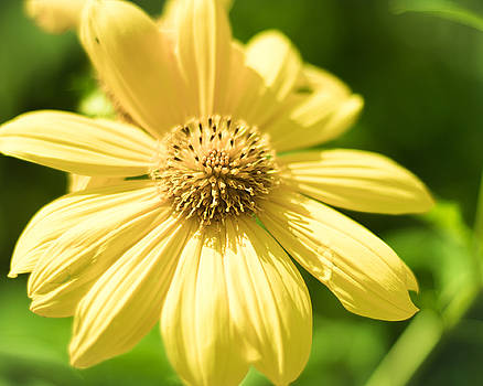 Yellow Flower by Brent Paape