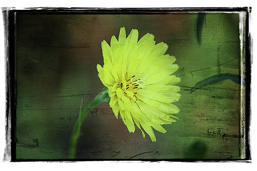 Yellow Flower by Cathy Harper