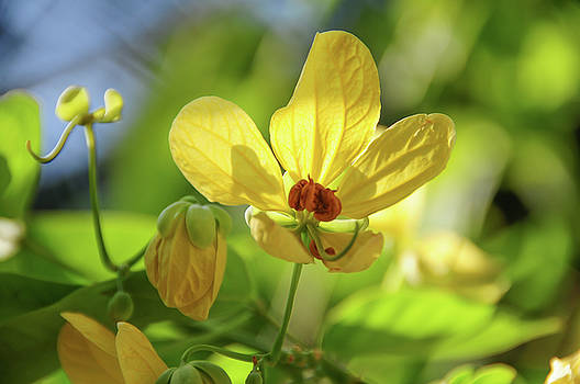 Jenny Rainbow - Yellow Flower of Cassia Glauca