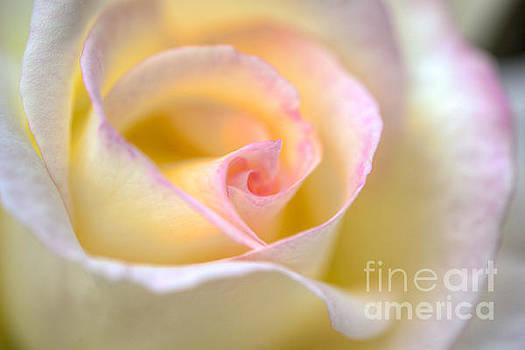 David Zanzinger - Yellow Flowering Rose