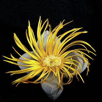 Yellow Follower  by Catherine Lau