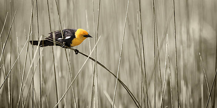 Yellow Head in Cattails by Patrick Ziegler
