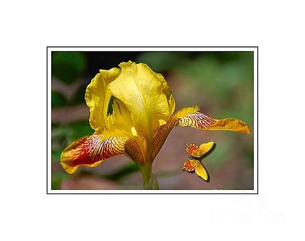 Yellow Iris and Butterfly by Elaine Manley