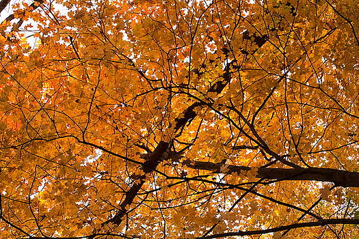 Yellow Leaves by Amanda Kiplinger