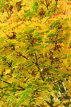 Svetlana Sewell - Yellow Leaves