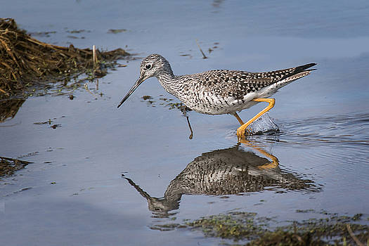 Yellow legs  by Don Anderson
