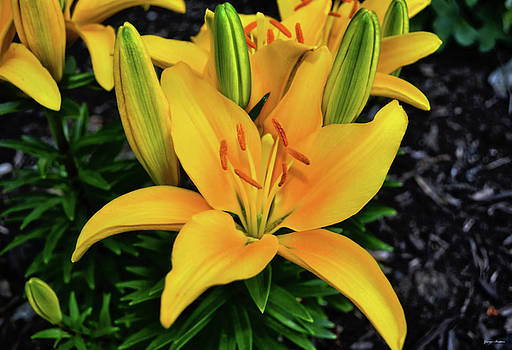 Yellow Lily 008 by George Bostian