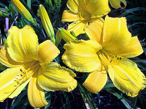 Patricia Taylor - Yellow Lily Cluster