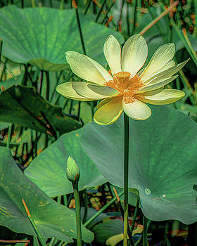 Yellow Lotus by Jerri Moon Cantone