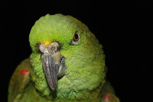 Alexander Butler - Yellow-Naped Amazon Parrot