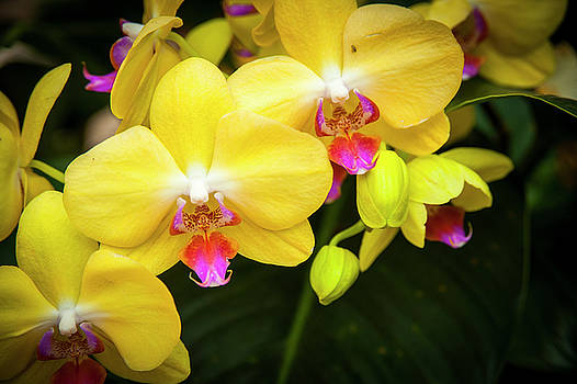 Yellow Orchid by Chad Davis