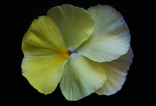 Yellow Pansy by Carol Welsh