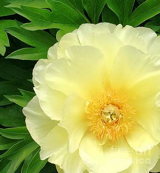 Yellow Peony by Anita Adams