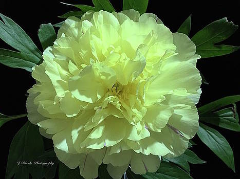 Yellow Peony by Jeannie Rhode Photography
