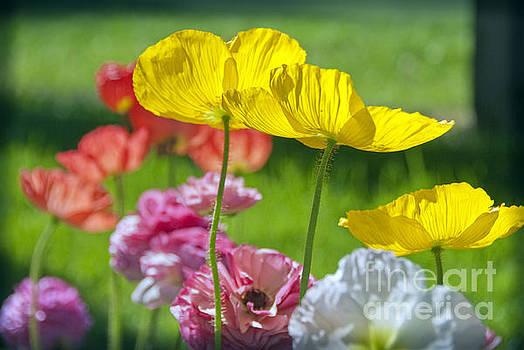 David Zanzinger - Yellow Pink Poppies