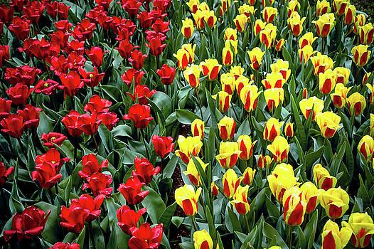 Jenny Rainbow - Yellow-Red Tulip Carpet
