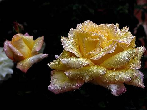 Yellow Rose After The Rain by Daniel Koral