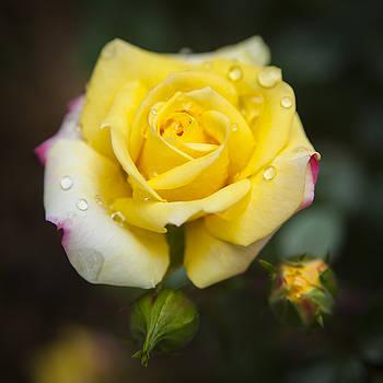 Yellow Rose by Chad Davis