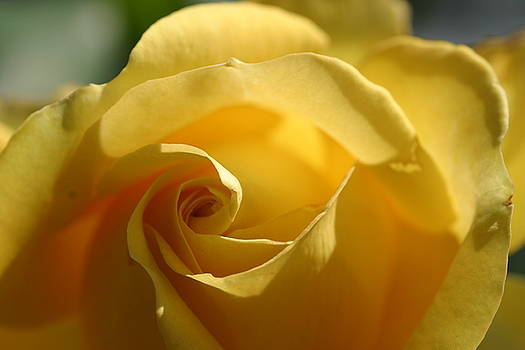 Chuck Kuhn - Yellow Rose