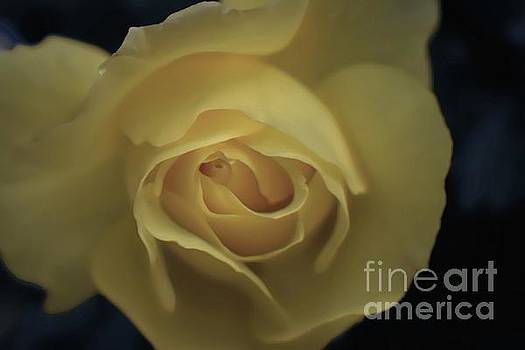 Yellow Rose Garden three by Ella Kaye Dickey