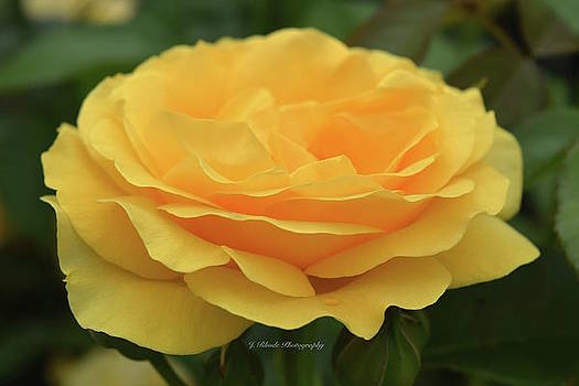 Yellow Rose in Full Bloom by Jeannie Rhode Photography