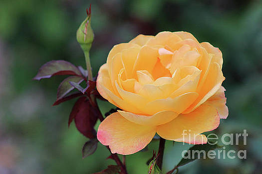 Yellow Rose by Karen Adams
