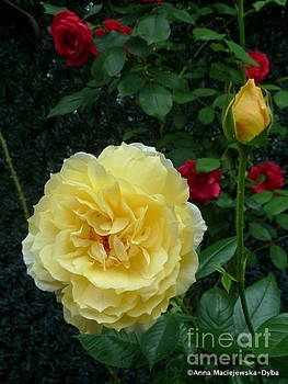 Yellow Rose Midas Gold 2 by Anna Folkartanna Maciejewska-Dyba