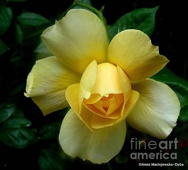 Yellow Rose Midas Gold 4 by Anna Folkartanna Maciejewska-Dyba