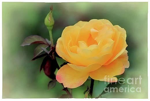 Yellow Rose Whisper by Karen Adams