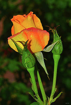 Yellow Roses 014 by George Bostian