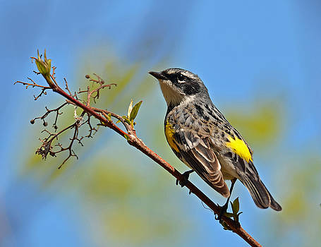 Yellow Rumped Warbler by Rodney Campbell