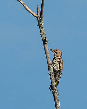 Yellow Shafted Flicker by Paula Ponath