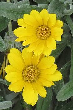 Yellow Times Two by Donna Cavender